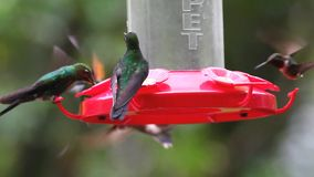A variety of hummingbirds at a feeder in Costa Rica stock video