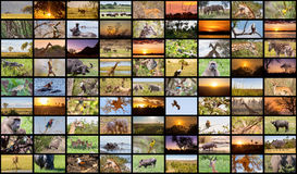 A variety of images of Botswana as a big image wall royalty free stock image