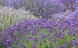 Variety of Lavender Flowers Background Stock Photo