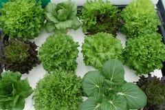 Variety of lettuce on hydroponics Stock Photo