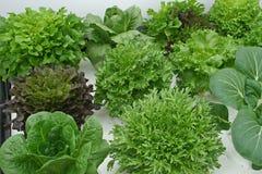 Variety of lettuce on hydroponics Royalty Free Stock Photo