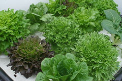 Variety of lettuce on hydroponics Stock Photos