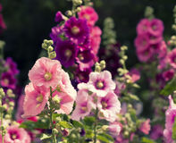 Variety of mallow flowers on the flowerbed Royalty Free Stock Photography