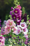 Variety of mallow flowers on the flowerbed Stock Image
