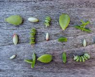 Variety of multiple green succulent leaves ready to be propagated stock photography