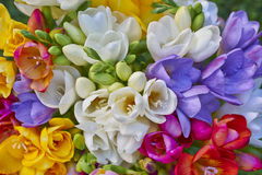 Free Variety Of Colorful Freesias Royalty Free Stock Photos - 51922848