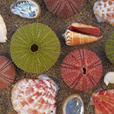Variety Of Sea Urchins And Shells On Wet Sand Royalty Free Stock Photography