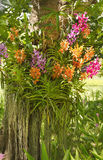 Variety of orchid in the tree Royalty Free Stock Image