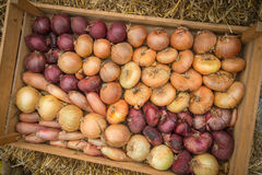 Variety of organic farm fresh onions in wooden box Stock Photo