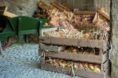 Variety of organic farm fresh onions in wooden box Stock Images