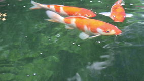 Variety ornamental Koi carp fishes swim in pond stock video footage