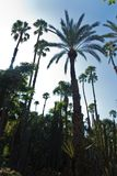 Variety of palm and cactus trees against blue sky at Majorelle garden in Marrakech, Morocco Stock Image