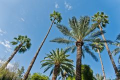 Variety of palms and other trees against blue sky at Majorelle garden in Marrakech, Morocco Royalty Free Stock Image