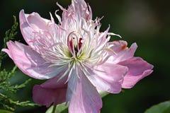 Variety peony flower Royalty Free Stock Image
