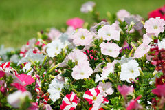 Variety of petunias Royalty Free Stock Images