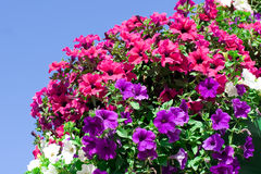 Variety of petunias. In a summer garden Stock Photography
