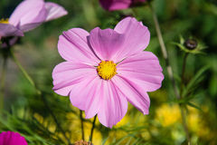 Variety of pink Cosmos in a garden Royalty Free Stock Photos