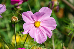 Variety of pink Cosmos in a garden Stock Images