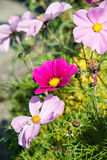 Variety of pink Cosmos in a garden Royalty Free Stock Images
