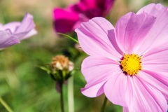 Variety of pink Cosmos in a garden Royalty Free Stock Photo