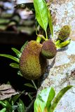 Variety of plant organisms on the island of Bali. Nature of Indonesia. Fruits on the tree stock image