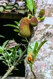 Variety of plant organisms on the island of Bali. Nature of Indonesia. Fruits on the tree stock images