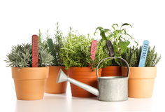 Variety of potted herbs with watering can Royalty Free Stock Image