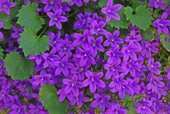 A variety of purple violet Campanula poscharskyana flowers growing in abundance
