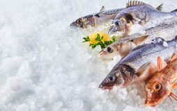 Variety of Raw Fish Chilling on Bed of Ice. High Angle Still Life of Variety of Raw Fresh Fish Chilling on Bed of Cold Ice in Seafood Market Stall with Copy Stock Image