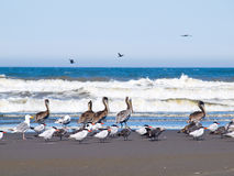 A Variety of Seabirds at the Seashore Royalty Free Stock Photos