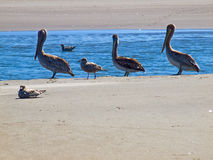A Variety of Seabirds at the Seashore Stock Images