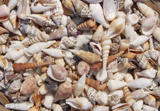 Variety of seashells. Variety of beautiful natural seashells Royalty Free Stock Photo