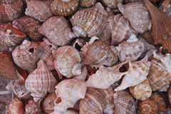 Variety of seashells. Image of a seashells collection Royalty Free Stock Image