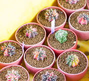 Variety Of Small Cactus. Stock Photos