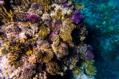 Variety of soft and hard coral shapes, sponges and branches in the deep blue ocean. Yellow, pin, green, purple and brown diversity stock photo