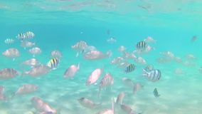 A variety of striped fish of the Red Sea swim in the blue clear sea water on a sunny day. Slow motion Standard movement. Timelapse stock footage