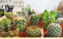 Variety of Succulent plants. In the small pots Royalty Free Stock Image