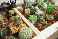 Variety of Succulent plants. In the small pots Royalty Free Stock Photos