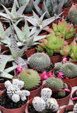 Variety of succulents and catcus in bloom Royalty Free Stock Images