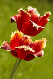 Variety terry  tulips Stock Photo