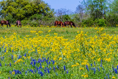 A Variety of Texas Wildflowers in a Field with Brown Horses. Royalty Free Stock Photo