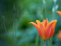 Variety tulips in garden Royalty Free Stock Photography