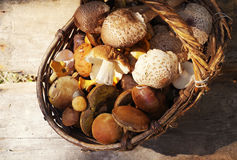 Variety of uncooked wild forest mushrooms in a basket Stock Image