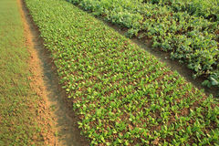 Variety vegetable plants in growt Stock Photos
