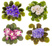 The variety of violet flowers ( saintpolia ) isolated. The variety of violet flowers ( saintpolia ) isolated on the white background Royalty Free Stock Photo