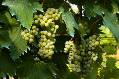 Bunch of grapes. Variety of white grapes, typical of Marche region in Italy Royalty Free Stock Photos