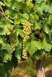 Bunch of grapes. Variety of white grapes, typical of Marche region in Italy Royalty Free Stock Photography