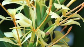 Variety of yellow lily,lilies or lilium in garden stock video