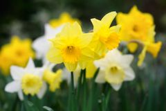 Variety of yellow and white trumpet daffodils Royalty Free Stock Image