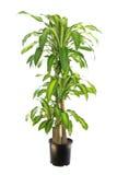 Varigated龙血树属植物Massangeana,在白色隔绝的玉米 库存图片